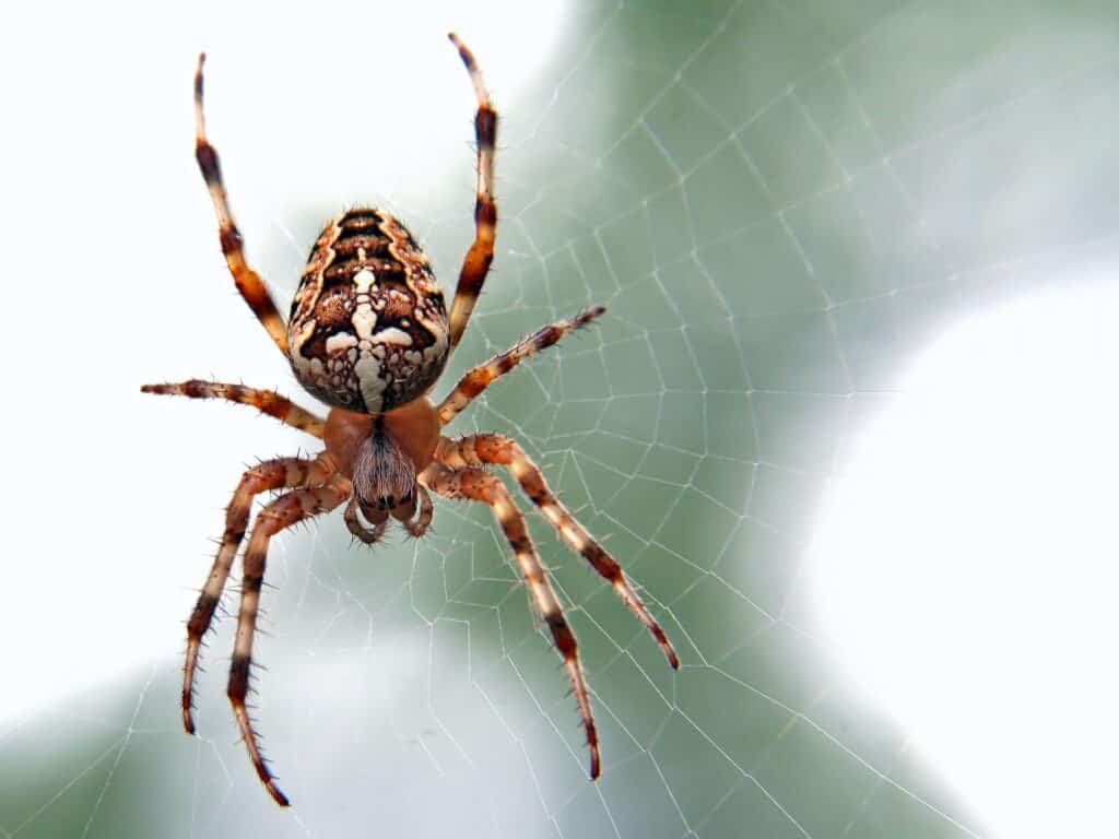 Repelente de arañas