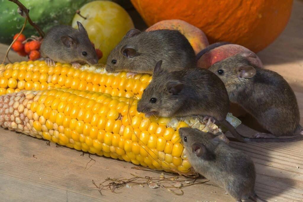 repelente para ratones