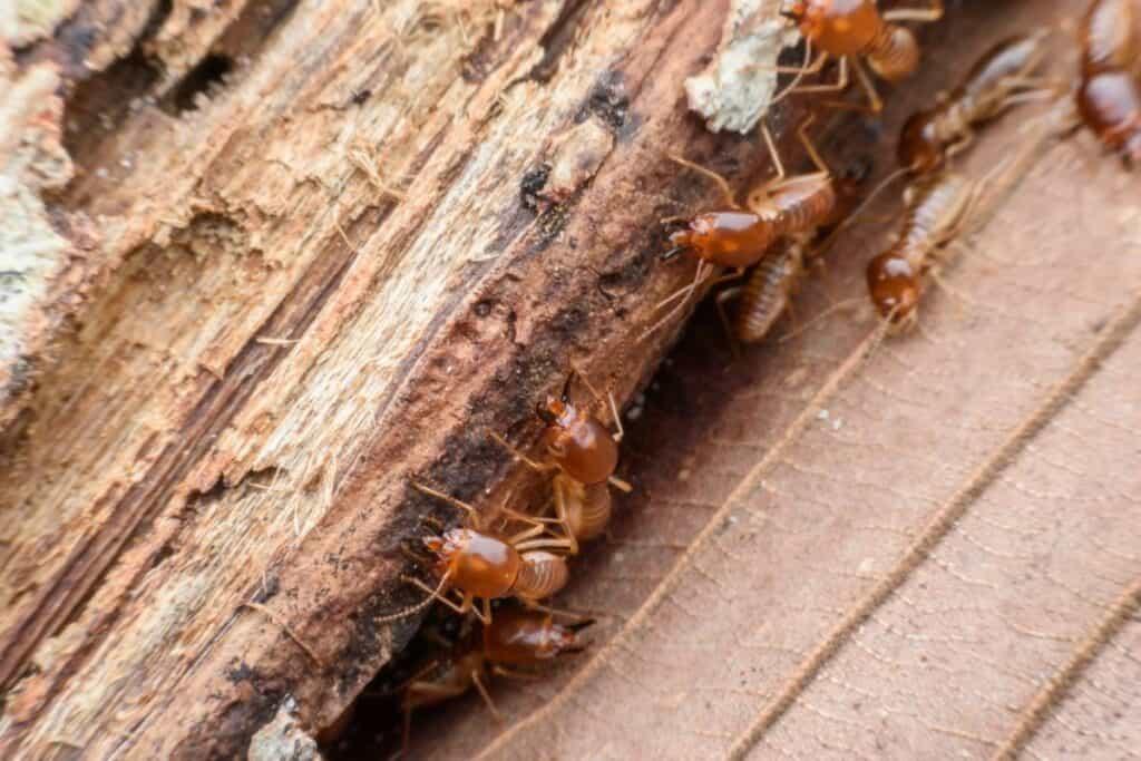 repelente de termitas