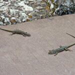Repelente de lagartijas y salamandras
